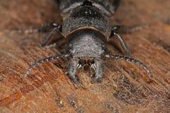 甲虫顶头宏指令 免版税库存图片