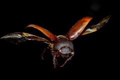 甲虫飞行昆虫 库存照片