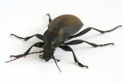 甲虫黑色陆运 免版税图库摄影