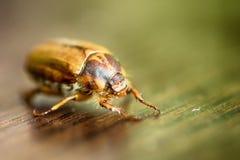 甲虫:金龟子或Maybug Melolontha melolontha 库存图片