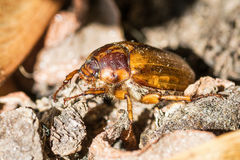 甲虫:金龟子或Maybug Melolontha melolontha 免版税库存照片
