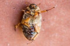 甲虫:金龟子或Maybug Melolontha melolontha 库存照片