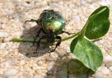 甲虫绿色叶子 库存图片