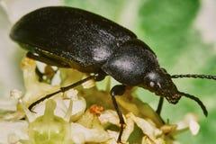甲虫黑色 免版税库存照片
