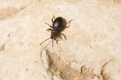 甲虫黑色 免版税库存图片