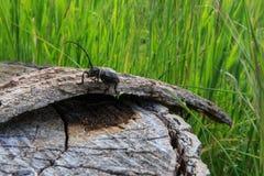 黑甲虫 免版税库存照片
