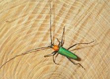甲虫(Chloridolum sieversi) 8 免版税库存照片