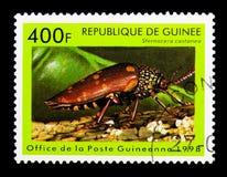 甲虫(Sternocera栗属),昆虫serie,大约1998年 图库摄影