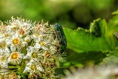 甲虫Cetonia 夏天 库存图片