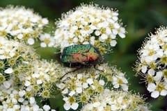 甲虫cetonia aurata 免版税库存图片