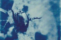 甲虫cyanotype 库存照片