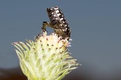 甲虫funesta oxythyrea玫瑰被察觉的白色 免版税库存照片