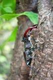 甲虫Lucanus鹿 库存图片