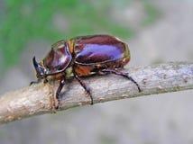 甲虫nasicornis oryctes犀牛 免版税库存照片