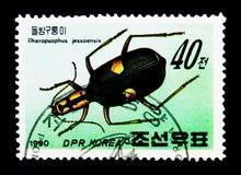 甲虫Pheropsophus jessoenis,昆虫serie,大约1990年 免版税库存图片