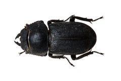 甲虫tenebrionid 库存照片