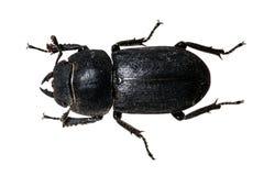 甲虫tenebrionid 免版税库存照片