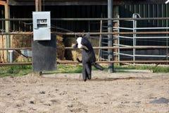 电子的公牛 库存照片