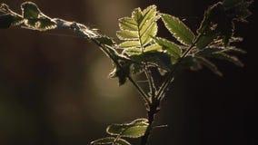 电影关闭:生长在狂放的森林太阳里的小ashberry树发光通过绿色叶子 股票视频
