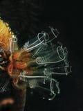 电灯泡光海鞘 图库摄影