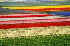 电灯泡领域,荷兰, Keukenhof 库存照片