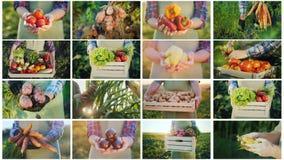 电视结构蒙太奇用保留从他们的领域的菜农夫的手 从的有机产品 库存照片