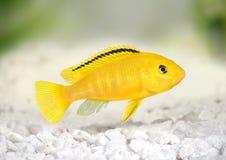电黄色丽鱼科鱼Labidochromis caeruleus马拉维水族馆鱼 免版税库存照片