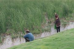 男人和妇女收集芦苇 库存照片