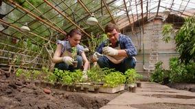 男人和妇女花匠在种植排序幼木在开放地面前自温室 股票视频