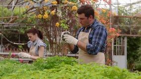 男人和妇女花匠自温室检查增长的新芽和幼木 股票视频