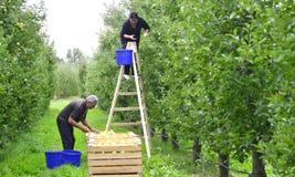 男人和妇女采摘苹果在果树园在Resen,马其顿 库存图片