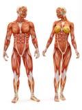 男和女性肌肉骨骼系统 库存图片