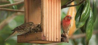 男女红色朝向的雀科 免版税图库摄影