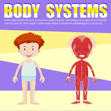 男孩和身体图Infographic  库存例证