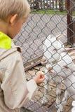 男孩喂养两只山羊用苹果 免版税库存图片