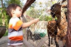 男孩喂养绵羊 免版税库存照片
