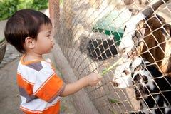 男孩喂养绵羊 库存图片