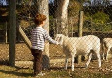 男孩感人的绵羊 免版税库存图片