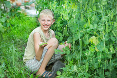 男孩收获了豌豆 免版税库存图片