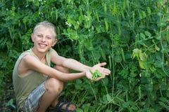 男孩收获了豌豆 免版税图库摄影