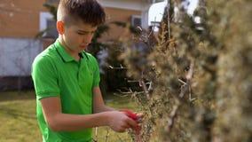 男孩裁减在庭院里烘干了与剪刀的灌木 股票视频