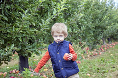 男孩采摘苹果 库存图片