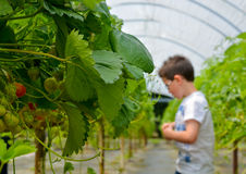 年轻男孩采摘草莓 免版税库存图片