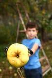 男孩采从树的成熟苹果与特别设备 图库摄影