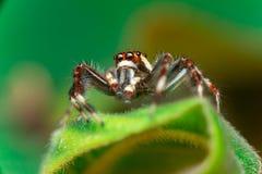 男性两镶边跳跃的蜘蛛Telamonia dimidiata,基于和爬行一片绿色叶子的Salticidae 库存照片