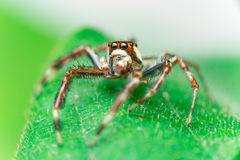 男性两镶边跳跃的蜘蛛Telamonia dimidiata,基于和爬行一片绿色叶子的Salticidae 免版税库存照片