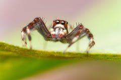 男性两镶边跳跃的蜘蛛Telamonia dimidiata,基于和爬行一片绿色叶子的Salticidae 库存图片
