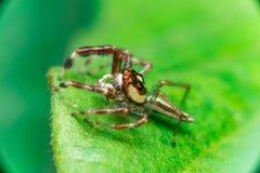 男性两镶边跳跃的蜘蛛Telamonia dimidiata,基于和爬行一片绿色叶子的Salticidae 图库摄影