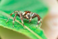 男性两镶边跳跃的蜘蛛Telamonia dimidiata,基于和爬行一片绿色叶子的Salticidae 免版税库存图片