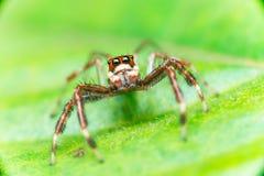 男性两镶边跳跃的蜘蛛Telamonia dimidiata,基于和爬行一片绿色叶子的Salticidae 免版税图库摄影